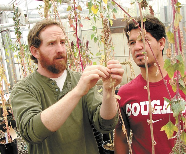 Dr. Kevin Murphy and doctoral candidate Leo Hinojosa inspect their crops. - CARRIE SCOZZARO