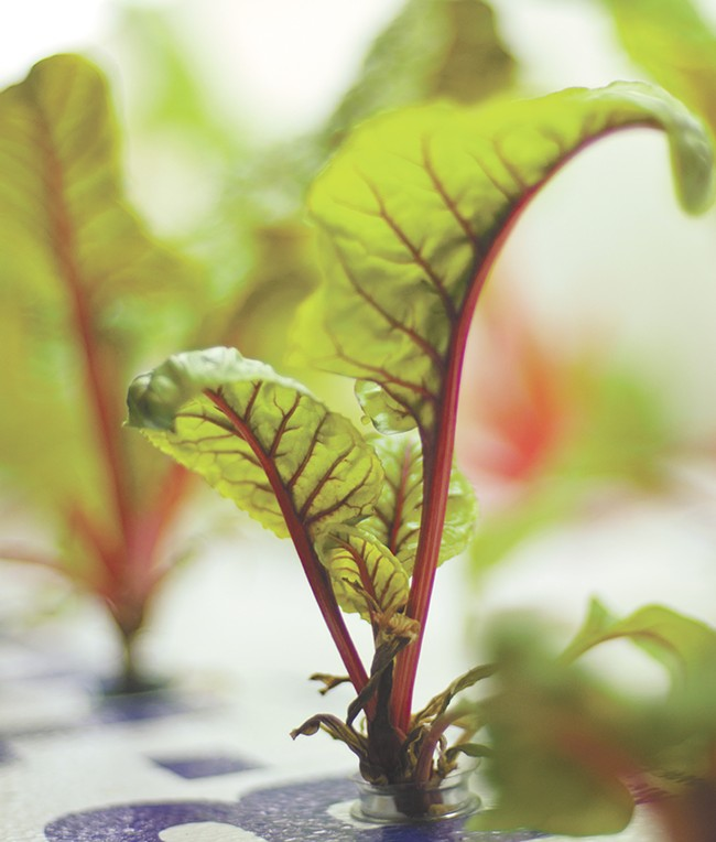 Locally grown Swiss chard grown in an indoor gardening system at the Community Action Center in Pullman. - JACOB JONES