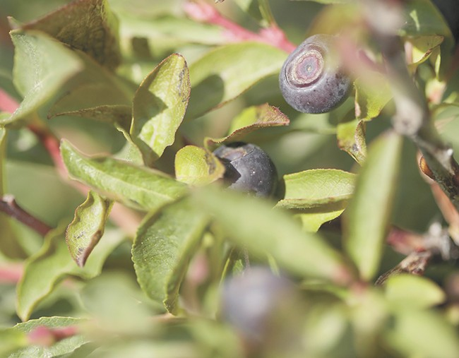 Huckleberries have long proven difficult to grow domestically.