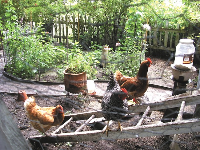 Learn about keeping your own chickens at the Shadle Library Saturday.