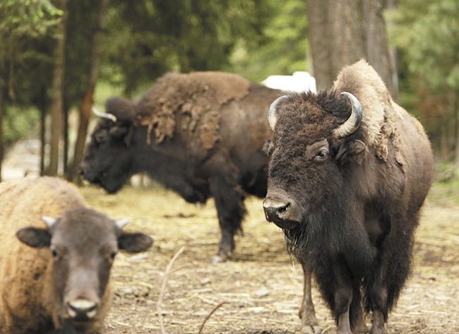 The H2H Bison Ranch in Worley. - YOUNG KWAK