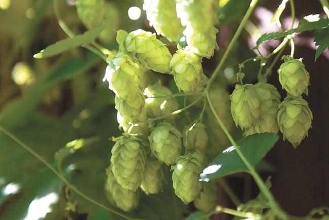 The regionally grown Cascade hops are a favorite among brewers. - DEREK HARRISON