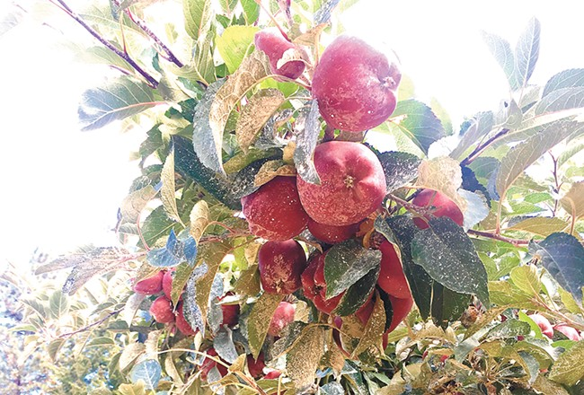 "These ""old variety"" Red Delicious apples at Athol Orchards taste ""nothing like what you'd find at a modern-day grocery store,"" says Conley. - NIKKI CONLEY PHOTO"
