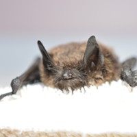 Washington state finds more rabid bats this spring, here's what to do if one touches you