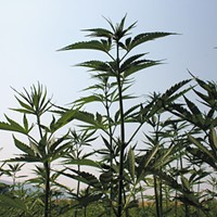 It's tougher to grow hemp than weed in Washington, but the Farm Bill may change that