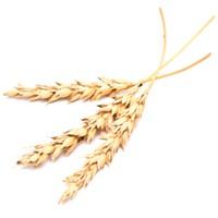 WSU researchers aim to crack the wheat-sensitivity puzzle