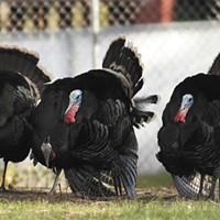 Trapping Turkeys