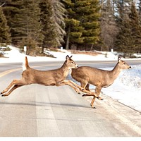 New U of Idaho study: Increasing U.S. cougar population would decrease deer-auto collisions