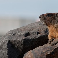 Fantastic marmots and where to find them, near downtown Spokane