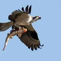 Osprey spears sucker fish, takes it on a tour of downtown Spokane