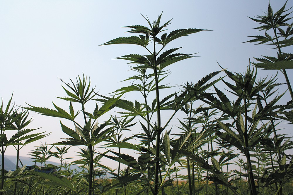 Hemp has support from some surprising leaders, including state Rep. Matt Shea. - SAMANTHA WOHLFEIL PHOTO