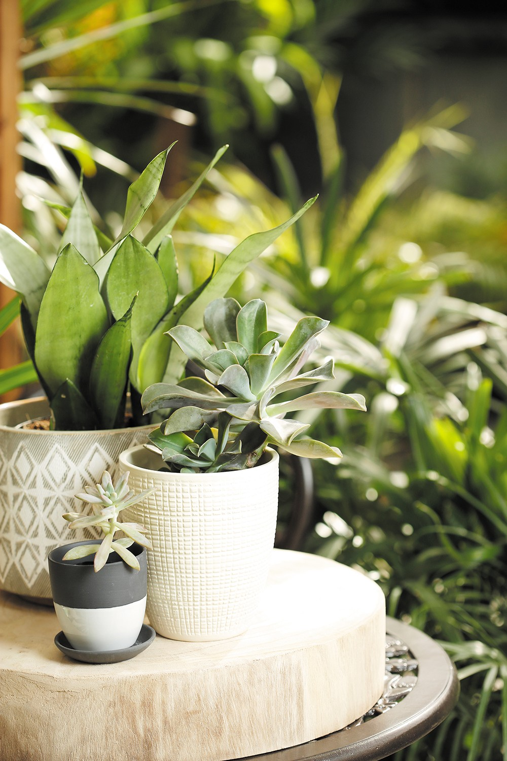 Graptoverie and sansevieria at the Plant Farm. - YOUNG KWAK