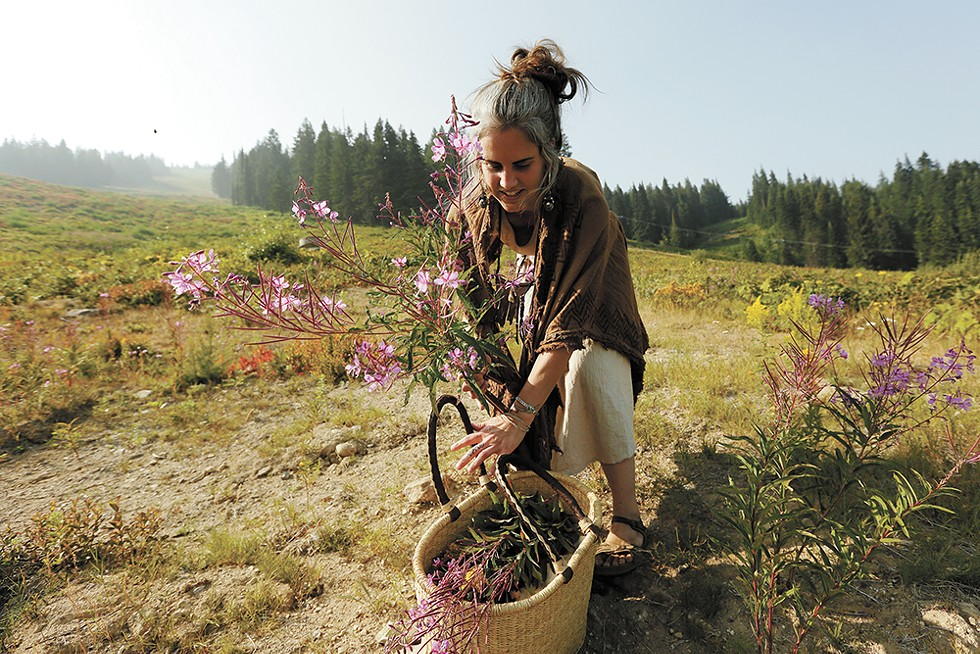 """HUNTING AND GATHERING"" - Wandering Lemurian Herbs owner Aubrey Mundell harvests fireweed in Mount Spokane State Park."