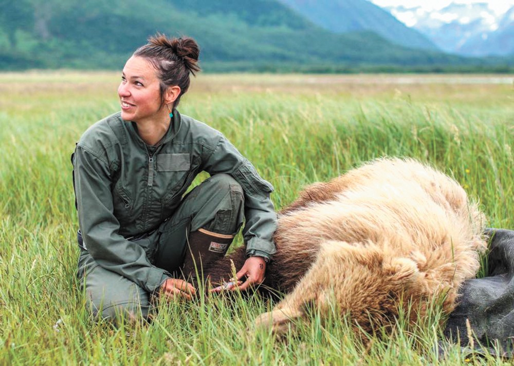 As part of her research, Joy Erlenbach takes a blood sample from a grizzly bear in Katmai National Park. - WSU PHOTO