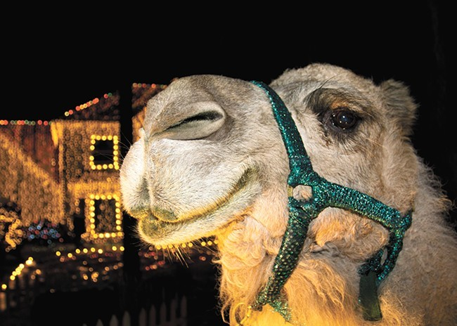 Among many other problems, Dolly the Camel broke the HOA's prohibition about keeping livestock on their property. - MARK ADDY PHOTO