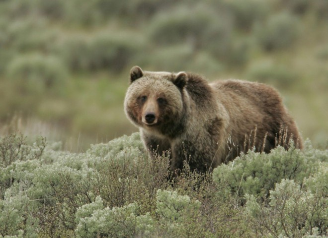 Grizzly Bear in Sage - OSU PHOTO