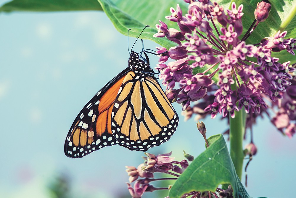 A monarch butterfly enjoys some milkweed.