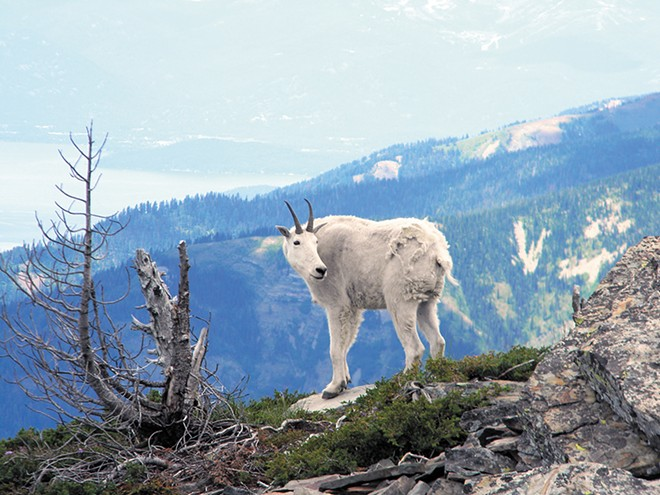One of the mountain goats at Scotchman Peak. - JAKE THOMAS PHOTO