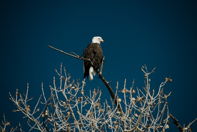 A bald eagle,  one of the Endangered Species Act's success stories, is seen perched atop a tree branch over looking the countryside near Castle Dale, Utah, ,Feb. 7, 2019. The Trump administration on Aug. 12, 2019, announced that it would change the way the Endangered Species Act is applied, significantly weakening the nation's bedrock conservation law credited with rescuing the bald eagle, the grizzly bear and the American alligator from extinction. - BRANDON THIBODEAUX/THE NEW YORK TIMES