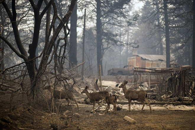 Deer forage in the burnt landscape of Paradise, Calif., on Tuesday morning, Nov. 13, 2018. Search teams were heading back into the devastated town on Tuesday with the grim expectation of finding more bodies in the charred remnants of the Sierra Nevada retirement community. - JENNA SCHOENEFELD/THE NEW YORK TIMES