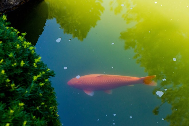 A koi swims in the Japanese Gardens at Manito Park - DANIEL WALTERS PHOTO