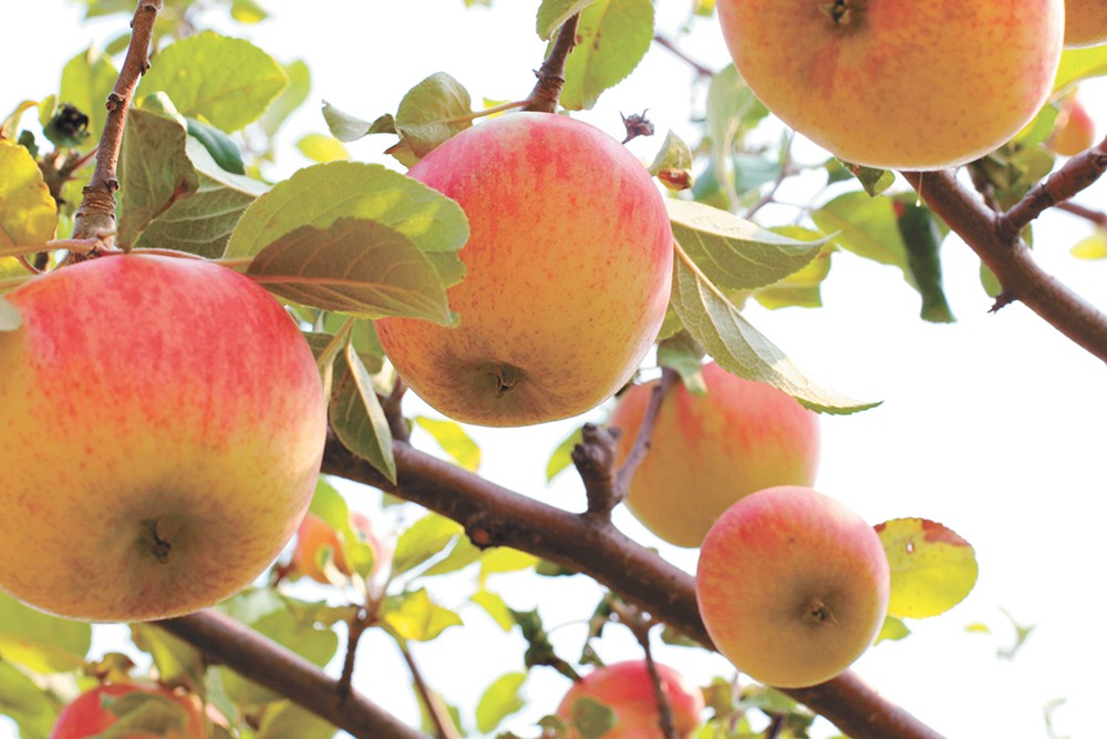 Sixty-eight rare and heirloom apple varieties grow at the University of Idaho's Sandpoint research orchard. - CARRIE SCOZZARO PHOTO
