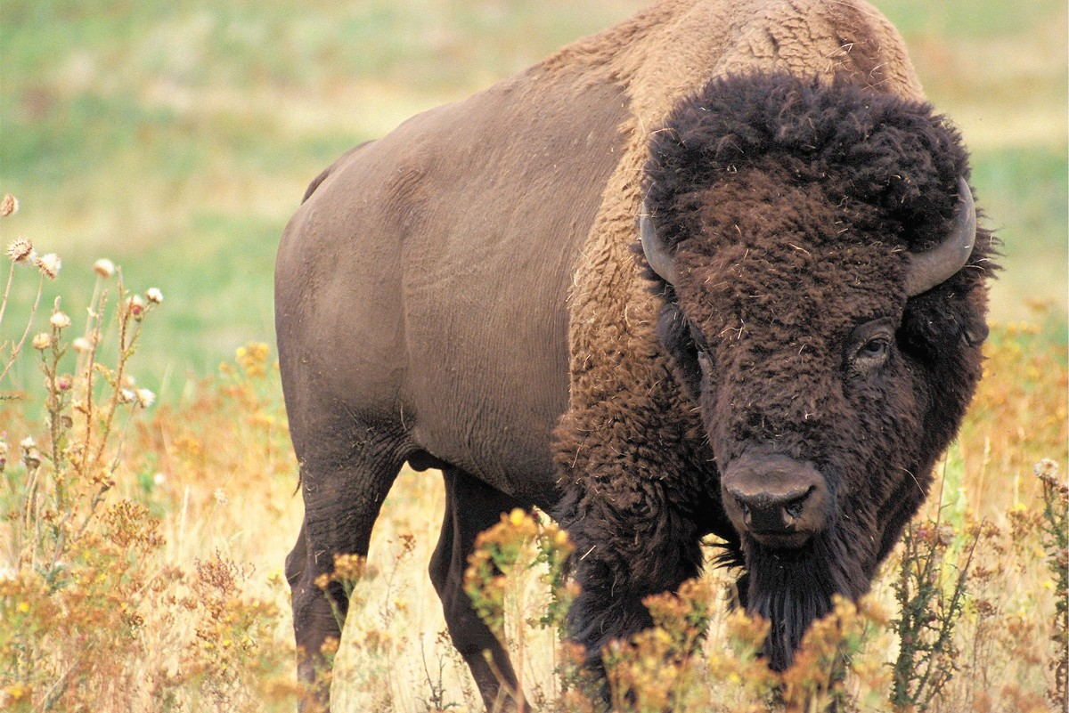 Don't ask the author to write about buffalo.
