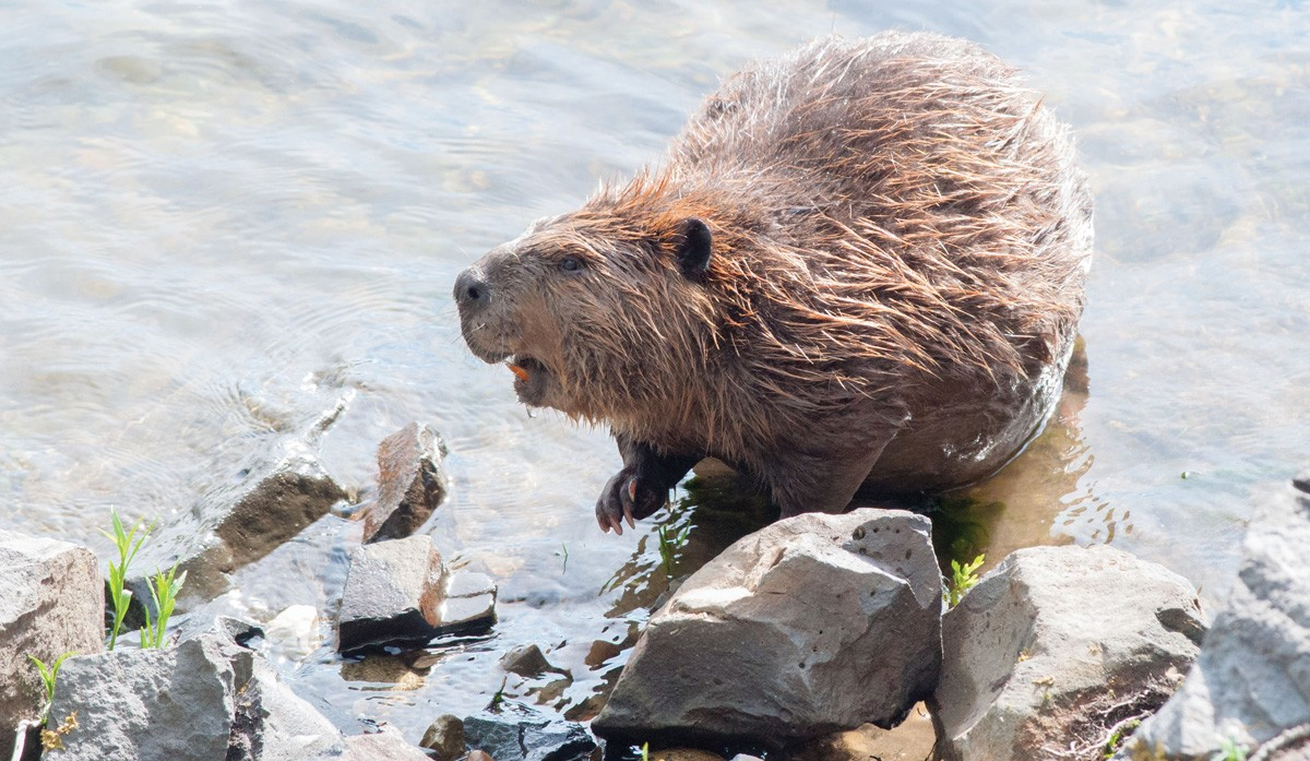 A beaver near Riverfront Park. - DANIEL WALTERS PHOTO