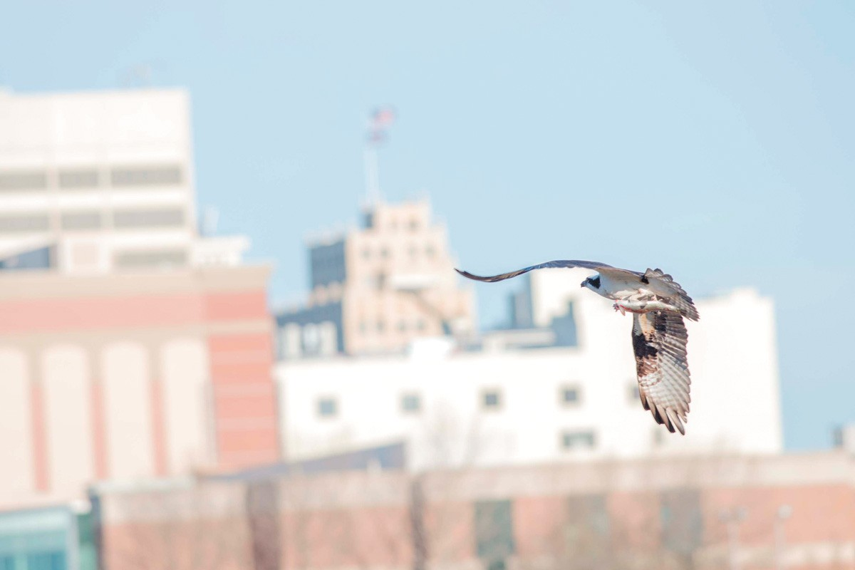 An osprey flies over Kendall Yards. - DANIEL WALTERS PHOTO