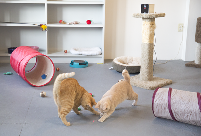 Users can control the Petcube laser pointer to interact with shelter cats like these little tabbies. - PETCUBE