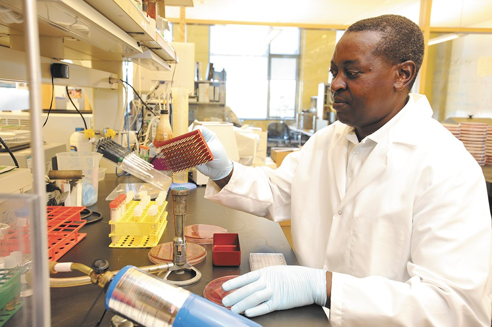 Deo Mshanga tests samples for antibiotic resistance at a Washington State University lab. - WSU PHOTO, HENRY MOORE JR.