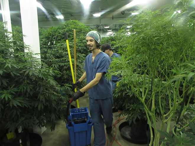 An employee at Grow Op Farms, a marijuana producer-processor in Spokane Valley - WILSON CRISCIONE