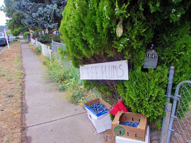 Bridge Avenue neighbor Carol Ellsworth offers free plums from her plum tree to neighbors during Porchfest, a musical festival in September intended to bring together West Central and Kendall Yards. - DANIEL WALTERS PHOTO