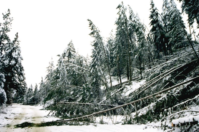 Toppled pines along Shady Slope Road, in North Spokane County. - DAN HAGERMAN