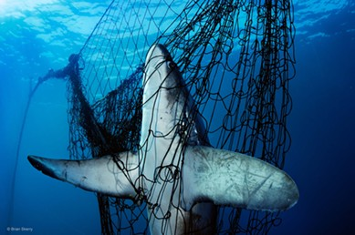 This thresher shark is one of countless unintended victims of gillnet fishing. - BRIAN SKERRY