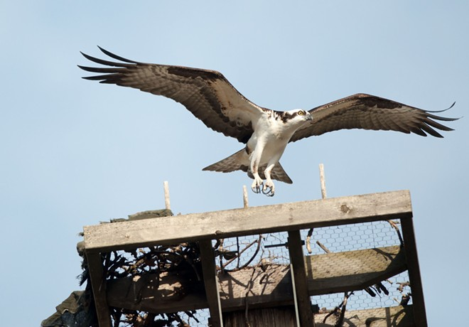 The ospreys are back at Kendall Yards, and their talons are sharper than ever! - DANIEL WALTERS PHOTO