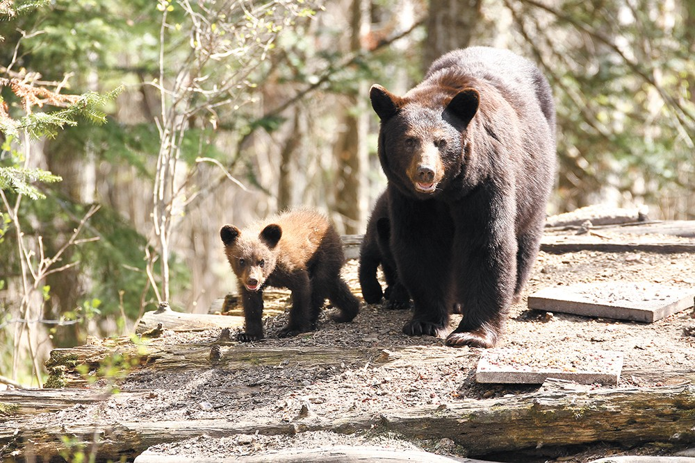 Stay calm, and don't look a black bear in the eye, experts say.
