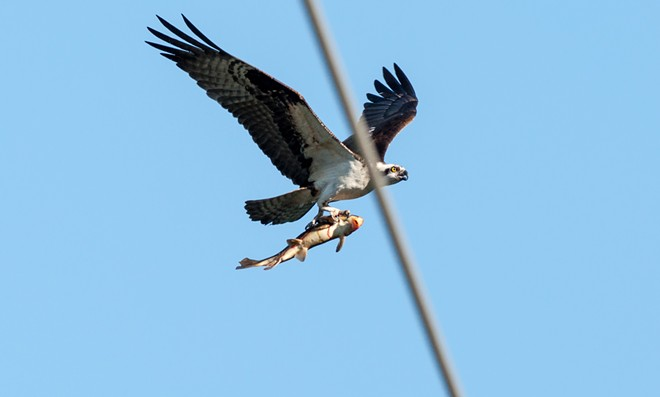 AN OSPREY CARRIES A SUCKER FISH OVER KENDALL YARDS ON WEDNESDAY EVENING LAST WEEK.