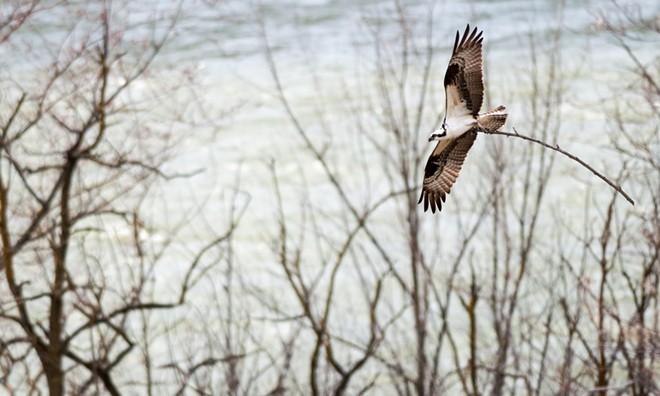ospreystick6.jpg