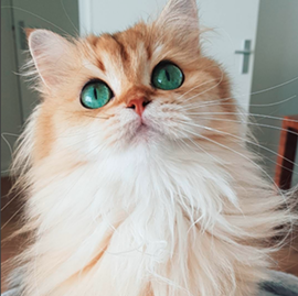 Smoothie: stealing hearts since 2014. - INSTAGRAM: @SMOOTHIETHECAT