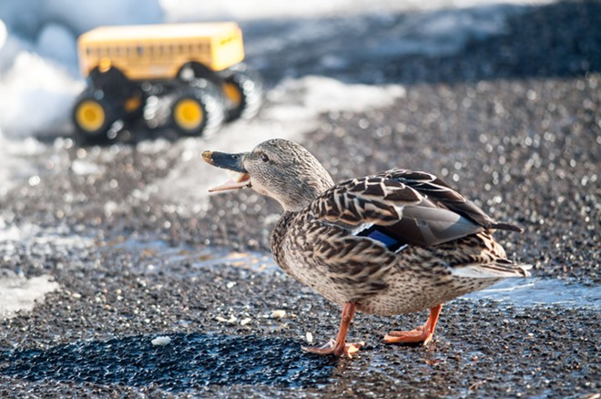 A Riverfront Park duck cries for justice for his Aberdeen brothers - DANIEL WALTERS PHOTO