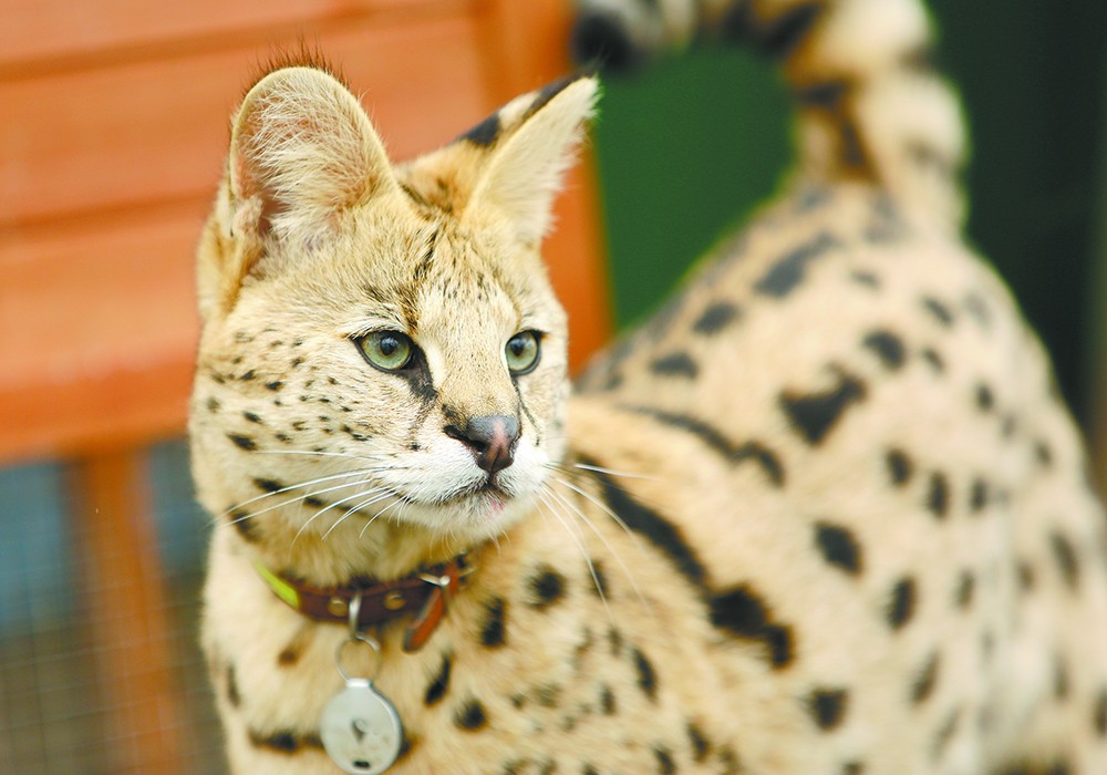 The 30-pound wildcat, an African serval, has an unusual bond with his owner. - YOUNG KWAK