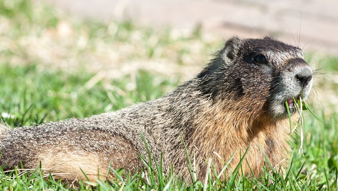 Dude. Nice marmot. - DANIEL WALTERS PHOTO