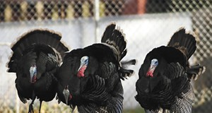 Trapping Turkeys