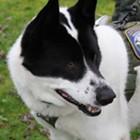 Karelian Bear Dog (KBD) 5K Spokane