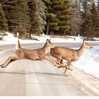 New U of Idaho study: Increasing U.S. cougar population would decrease deer-auto collisions