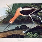 John James Audubon: The Birds of America (1856)