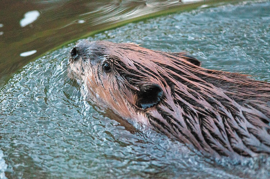 A Spokane beaver glides gracefully through the water. - DANIEL WALTERS PHOTO