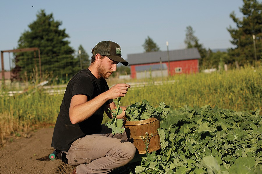 Lucas Cole of Lucid Roots harvests kale for a salad. - YOUNG KWAK
