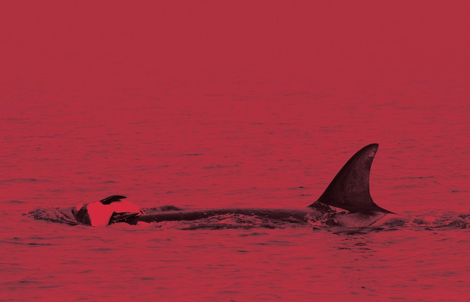 Orcas will mourn the loss of a baby, scientists say. This is a 2010 photo of an orca carrying a dead newborn, like Tahlequah did for 17 days last summer. - ROBIN W. BAIRD/CASCADIA RESEARCH PHOTO